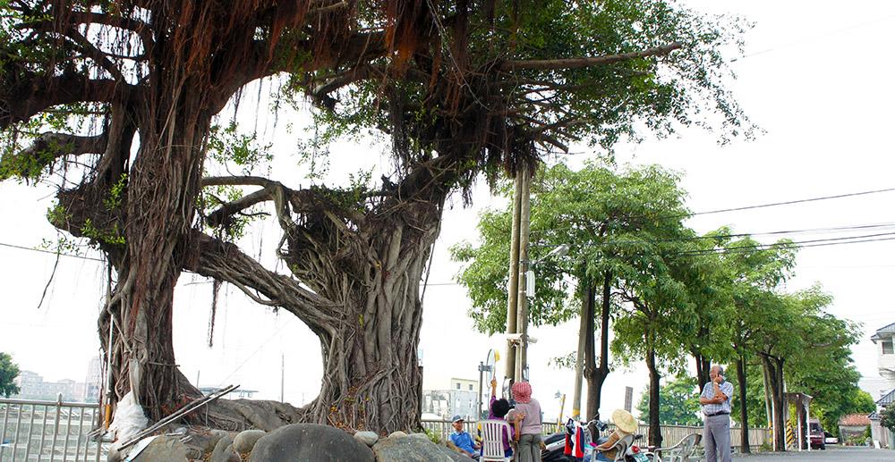 百年夫妻樹。