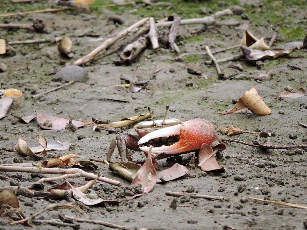 招潮蟹是紅樹林底下非常好的清道夫。