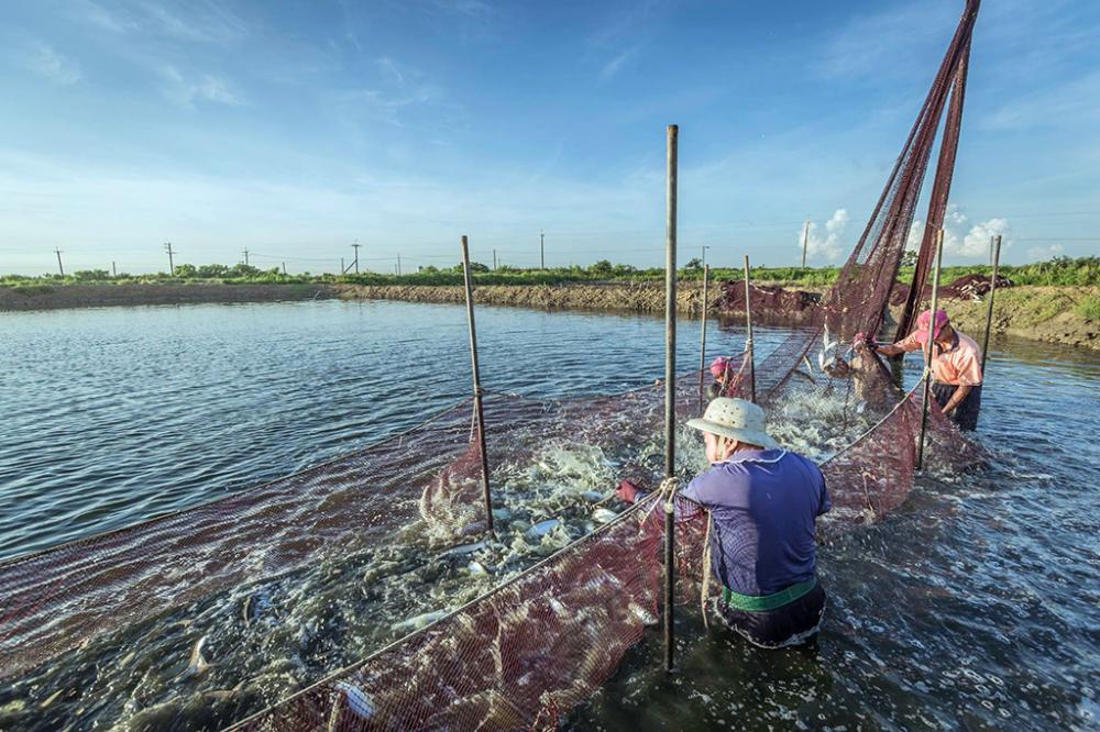 捕撈虱目魚是高雄沿海魚塭的日常情景。