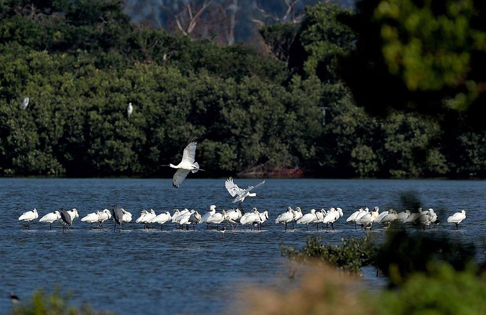永安濕地已吸引約百種鳥類造訪,是保育類過境候鳥的中繼站。