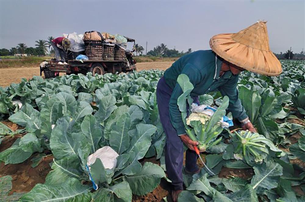 花椰菜採收期從每年十月至翌年二月,是冬天蔬菜的主角之一。