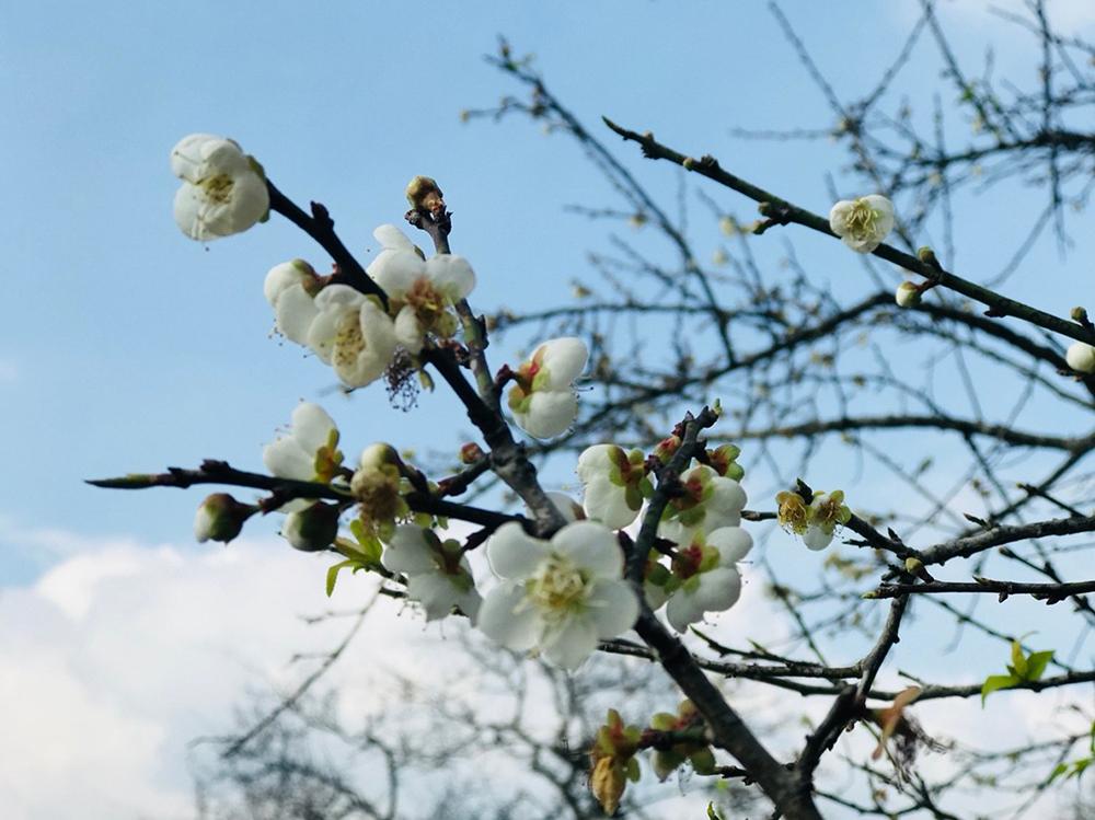 梅樹芬芳綻放。(照片提供/六龜區公所)