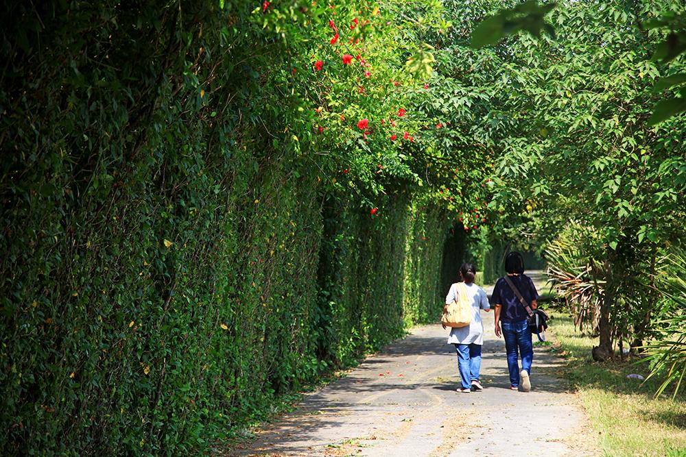 開滿扶桑花的朱槿花牆,是高屏溪堤頂自行車道上的綠簾秘境。(攝影/曾信耀)