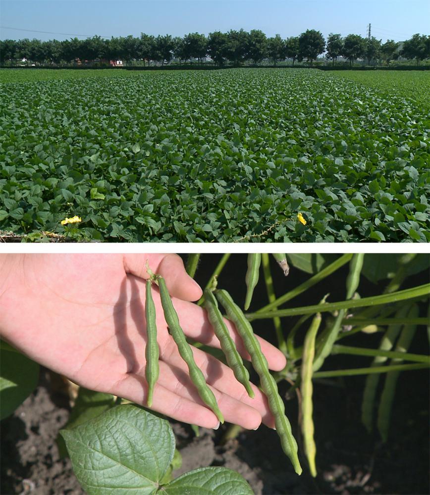 大寮紅豆的種植面積約330公頃,年產值約1.68億元,是大寮重要的農產品。(照片提供/大寮區公所)