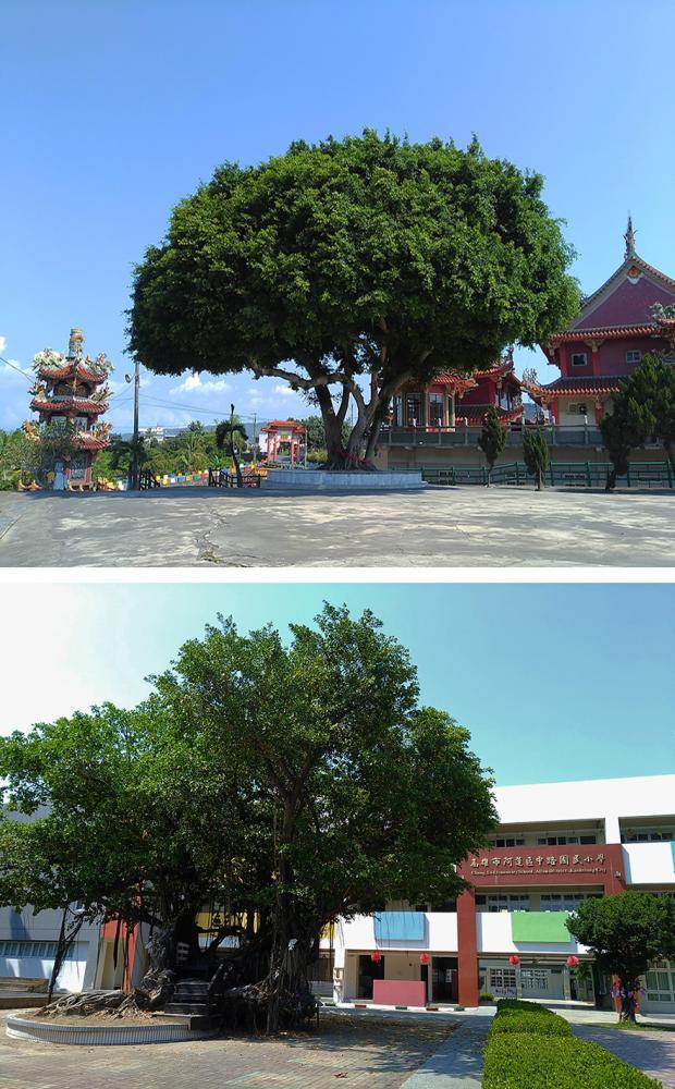 上:石安三奶宮榕樹。下:中路國小內的榕樹。(攝影/葉郁琪)