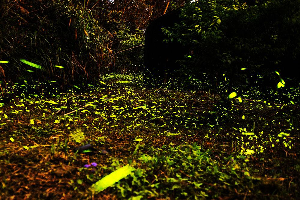 那瑪夏的螢火蟲(攝影/黃嘉宏)