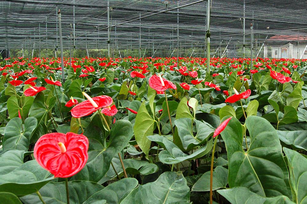 火鶴花屬於網室栽培,一年四季都開花。(照片提供/真美花園)