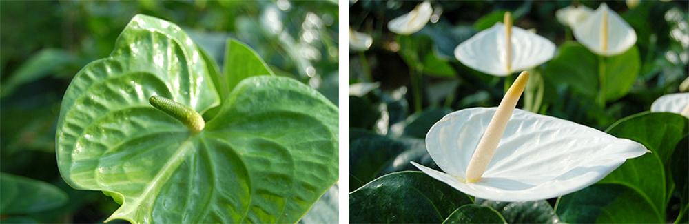 翠綠(左)和月亮女神(右)是日本人偏愛的綠色與白色品種火鶴花。(照片提供/真美花園)