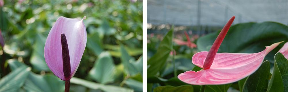 繽紛的火鶴花,都有響亮的品名,如花型形似鬱金香的霹靂馬(Previa)(左),穿著粉色裙擺的粉佳人(右)。(照片提供/真美花園)