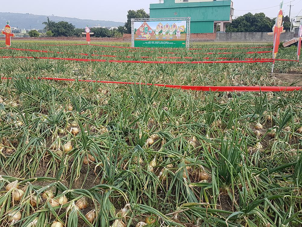 林園是台灣最早種植洋蔥的區域,爾後拓展到屏東車城、楓港等地。(圖片提供/林園區區公所)