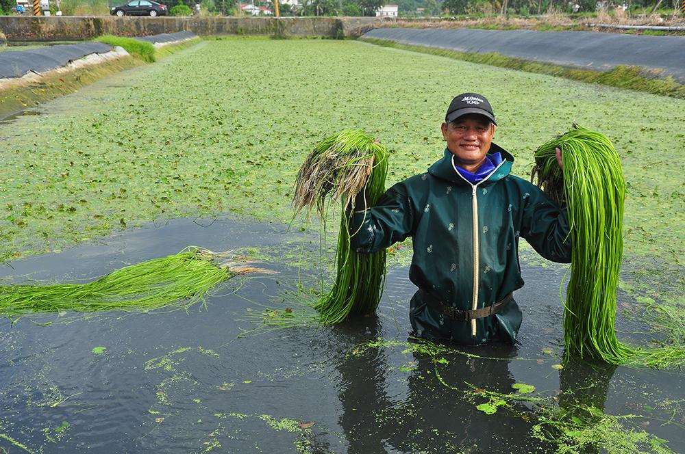 野蓮長度可達一人高,收成時會放低水位,方便採摘。(照片提供/美濃區農會)