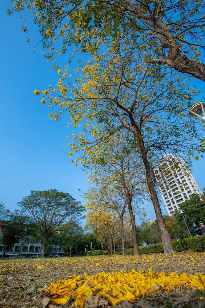 飄落地面的黃色風鈴木也是美景。(攝影/新聞局黃敬文;拍攝地點/新莊仔路旁河堤公園)