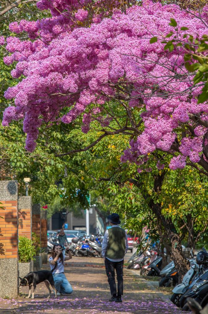 都市裡的春天氣息,透著粉色風鈴木悄然來到。(攝影/新聞局黃敬文;拍攝地點/民裕街民權國小旁)