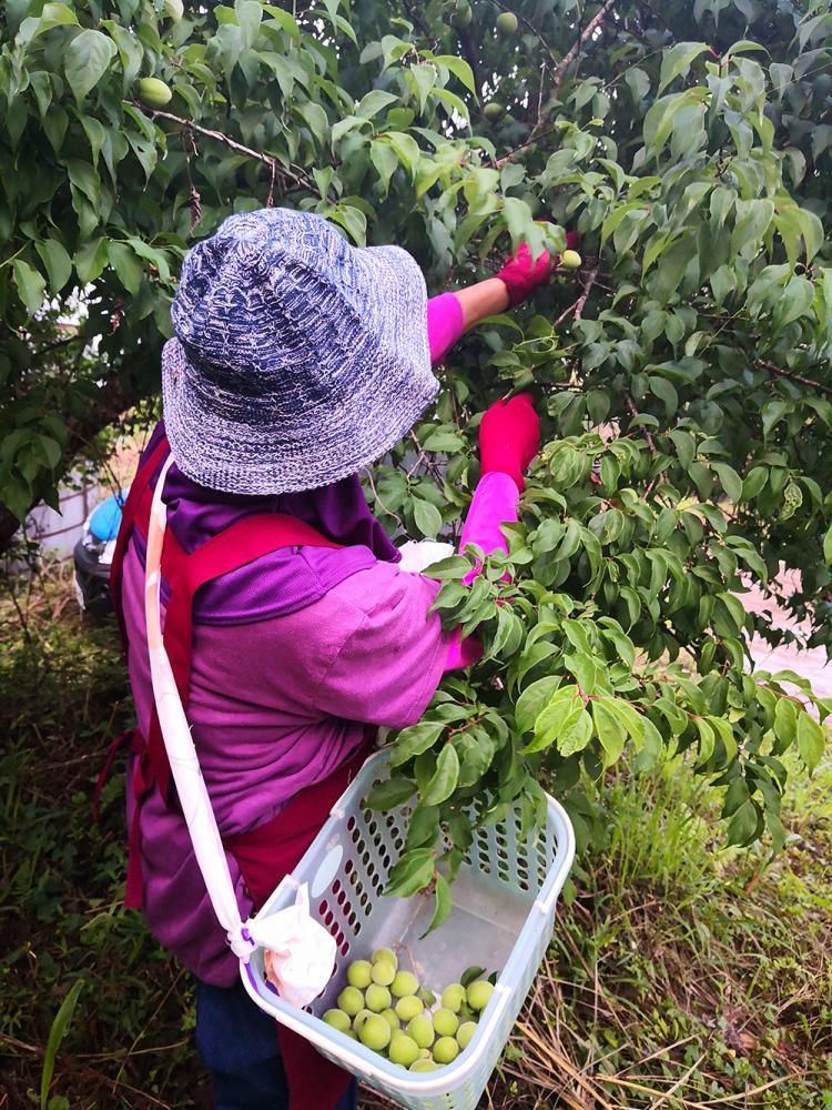 梅為亞洲特有的果樹,除了日本、韓國、台灣、中國大陸外,其餘很少栽種。(照片提供/型農林春福)