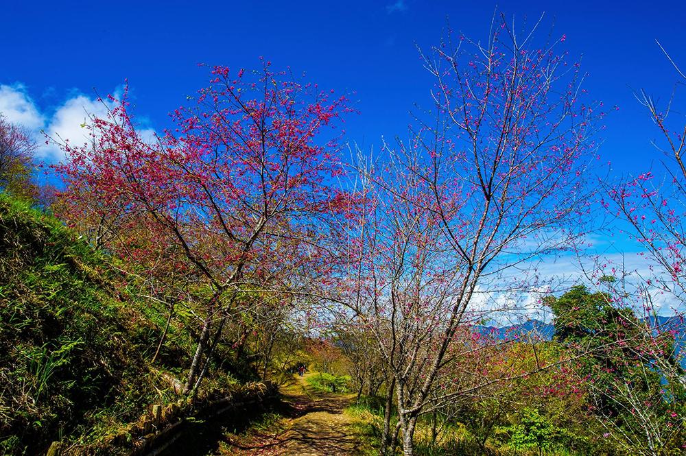 柯樹山說,跟著部落的人走,才會知道櫻花步道秘境。(照片提供/荔寶文創)