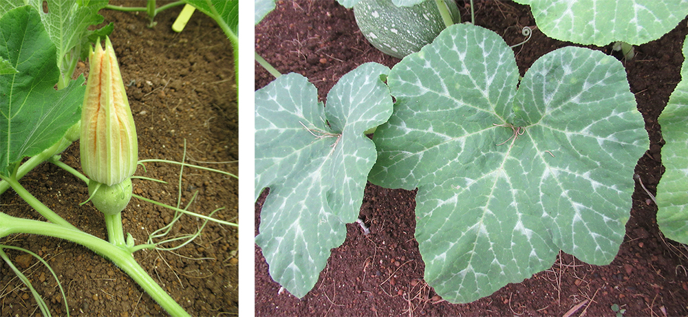 (左)高雄2號最佳的播種季節是2月到4月中旬,適合春作。(右)南瓜葉子呈五角狀心形,葉脈間有白斑。(照片提供/施純堅前分場長)