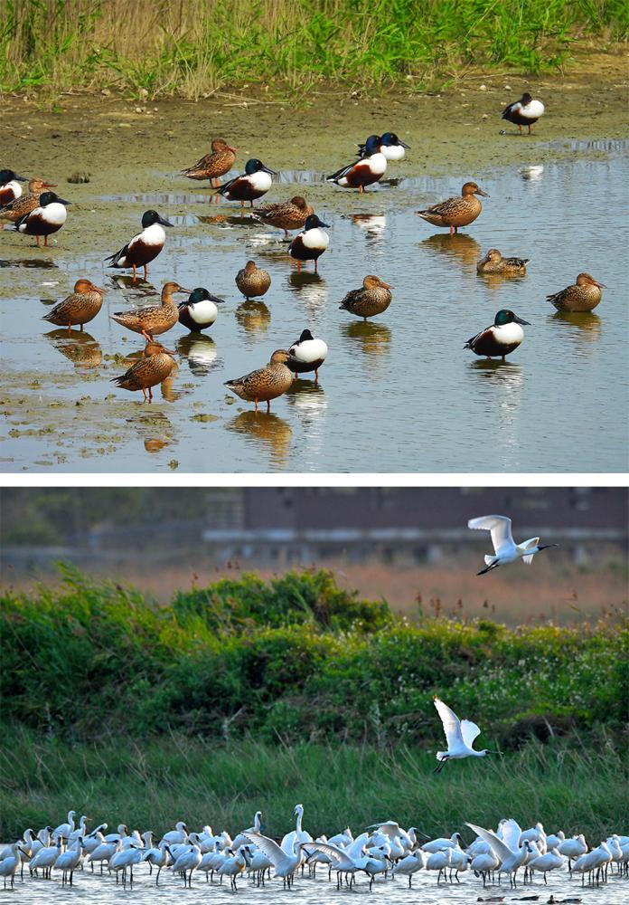 茄萣濕地有豐富的資源,水鳥、魚類和紅樹林生態皆可觀得。(圖片提供/高雄市茄萣區觀光發展協會)