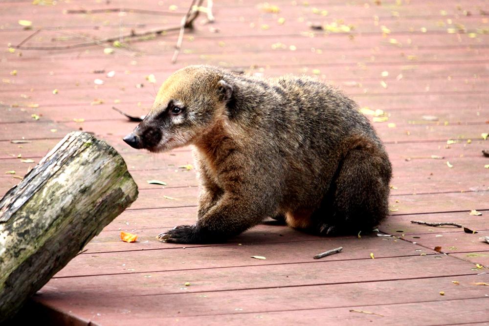 長鼻浣熊為雜食性動物,擅長爬樹和游泳,動作靈活。(圖片提供/壽山動物園提供)