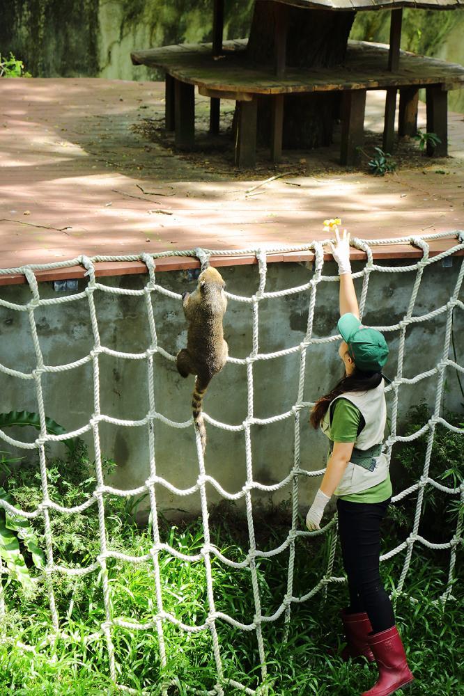 壽山動物園第一次迎來長鼻浣熊、黑肚綿羊與藍冠鴿,目前僅有長鼻浣熊開放參觀。(攝影/Carter)