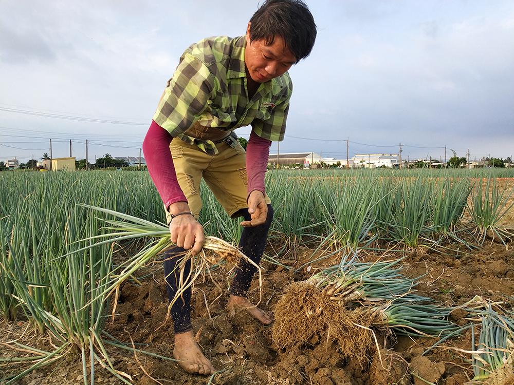 夏日在梓官可見蔥農採收農作的畫面。(照片提供/吳昭璇)