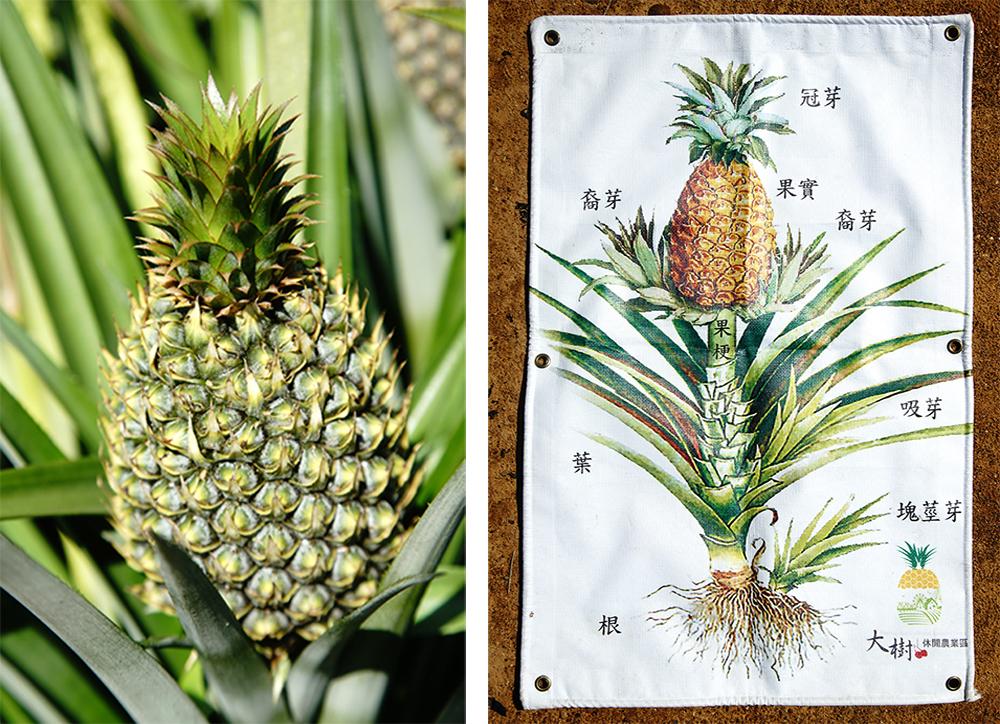 來認識鳳梨的分芽法繁殖。(攝影/曾信耀)