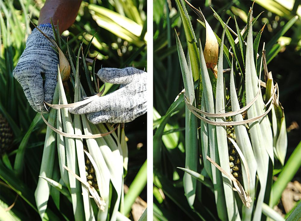 利用鳳梨自己的葉子包裹,再用竹繩綁起來,就是最古老、也最天然的防曬作法。(攝影/曾信耀)