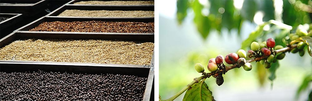 咖啡採收期從九月到翌年二月,陽光下的蜜處理、日曬豆、水洗豆呈現不同風貌。(攝影/曾信耀)