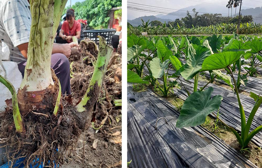 甲仙地區種植的芋頭屬於檳榔心芋,以口感鬆軟香Q為特色。(照片提供/李新福)