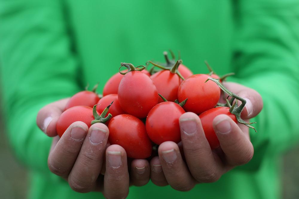 路竹土壤具有鹽份多與黏稠性高兩大特性,在果農努力下,路竹番茄闖出名號。(照片提供/路竹區公所)