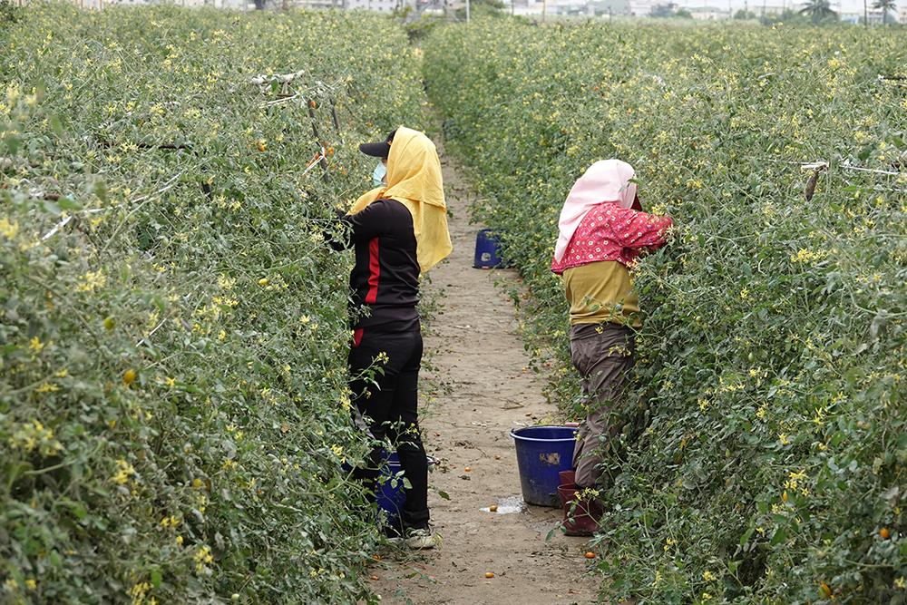 路竹番茄種植面積達180公頃。(照片提供/路竹區公所)