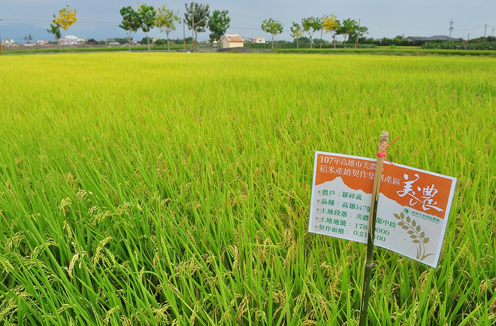 美濃農會與近450位農民合作契作,種植約360公頃147號米。(圖片提供/美濃區農會)