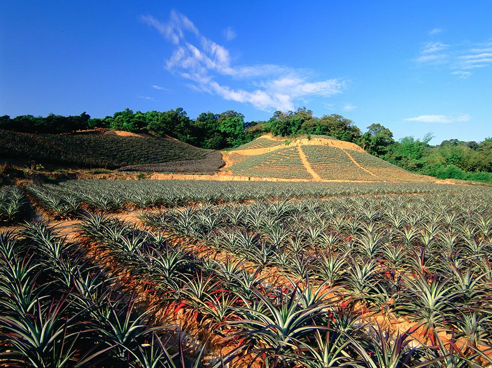 大樹區培育出優質的鳳梨,聞名全台。(圖片提供/高雄市大樹區公所)