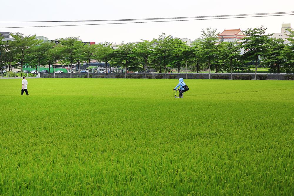 時序進入五月,大寮捷運站稻香大道呈現一片稻浪景觀,田連阡陌綠油油,彷彿遠離都市塵囂。(攝影/Carter)