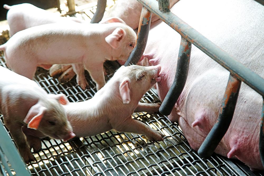 小豬仔活動力旺盛,十分可愛。