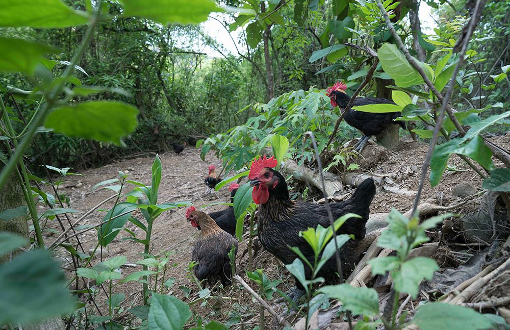 養雞場看不到明顯圍籬,種植樹木與藥草創造遮蔭,並鋪上鵝卵石讓地面乾爽,打造適合雞隻的環境。(圖片提供/大野山雞)