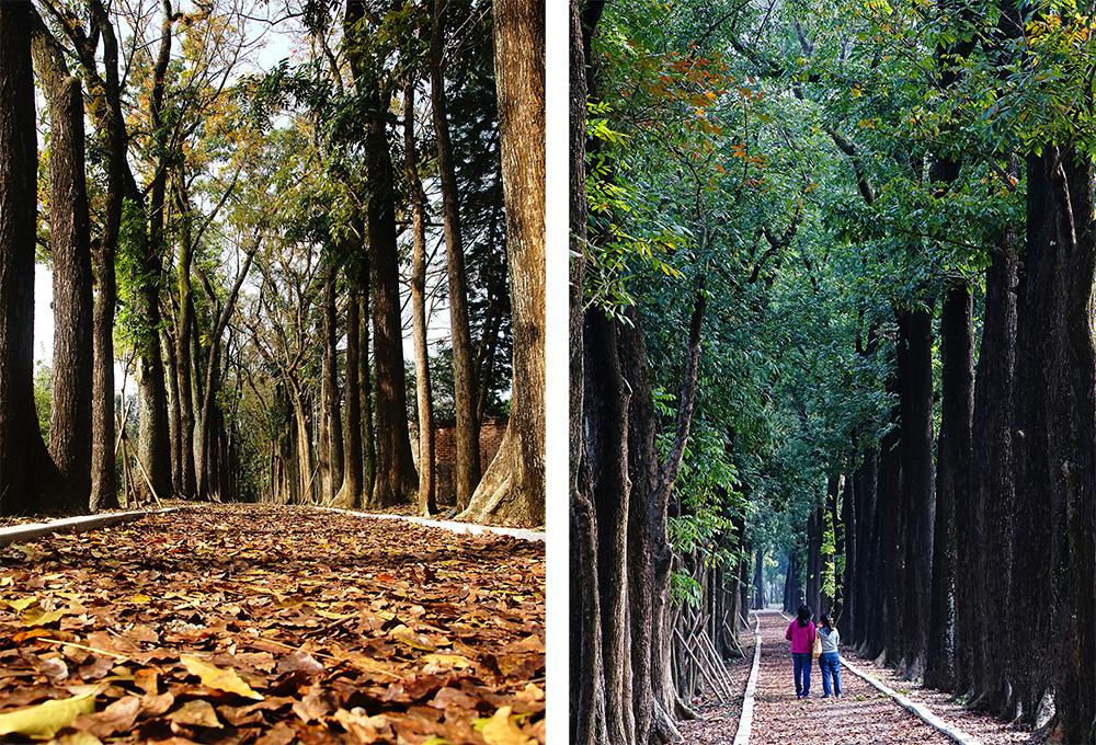 (左) 桃花心木林最美麗的時節就在四五月落葉期,充滿異國風情。(右) 長達約2公里的桃花心木大道,是著名的美拍勝地。