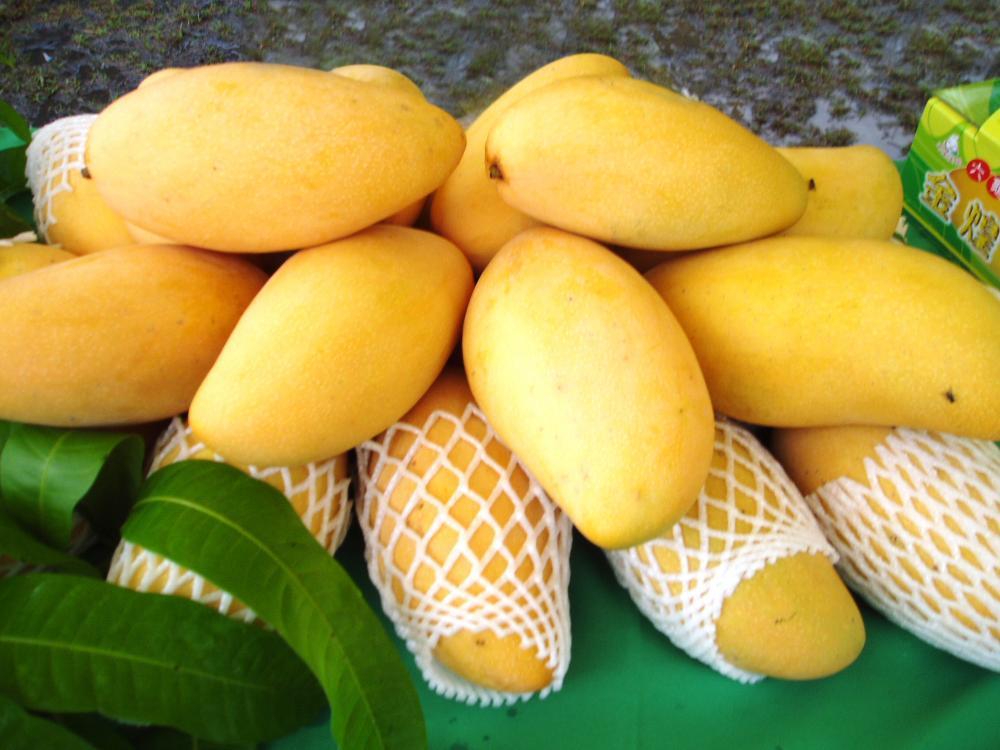 金煌芒果。