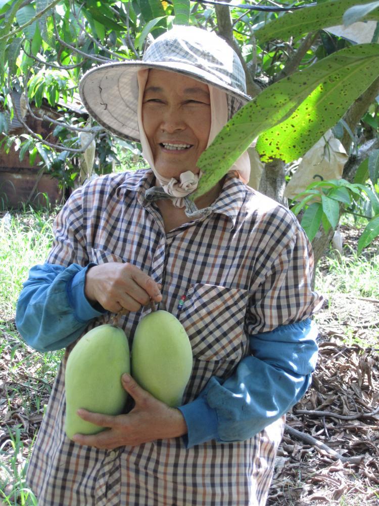 金煌芒果多以採收硬果為主,再進行催熟。