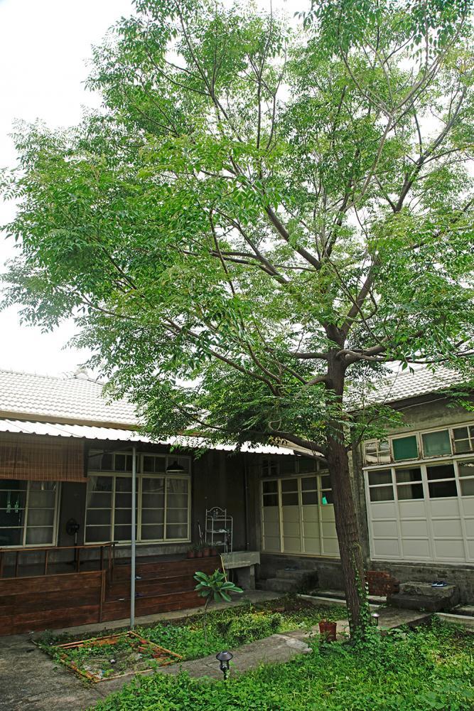 後院一棵老楝樹,惹來原住戶婆婆思念的淚水。