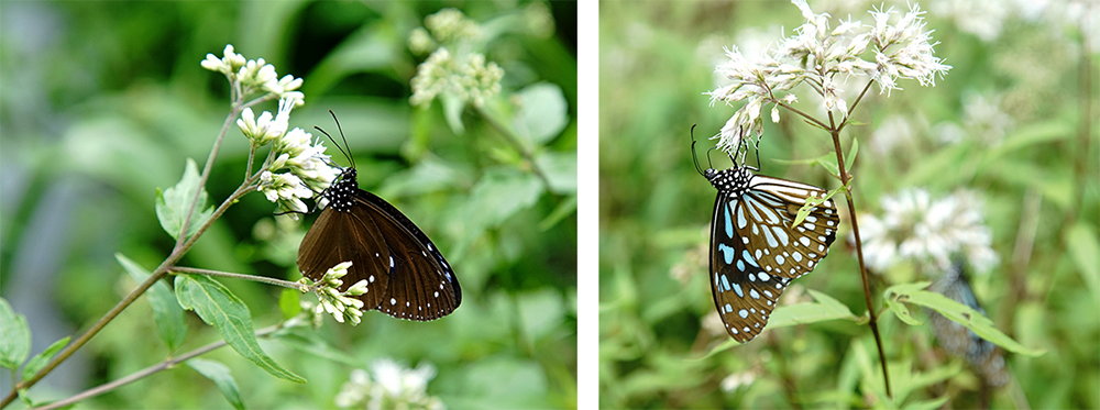 在茂林蝴蝶生態公園中發現紫斑蝶翩然舞動的蹤跡。